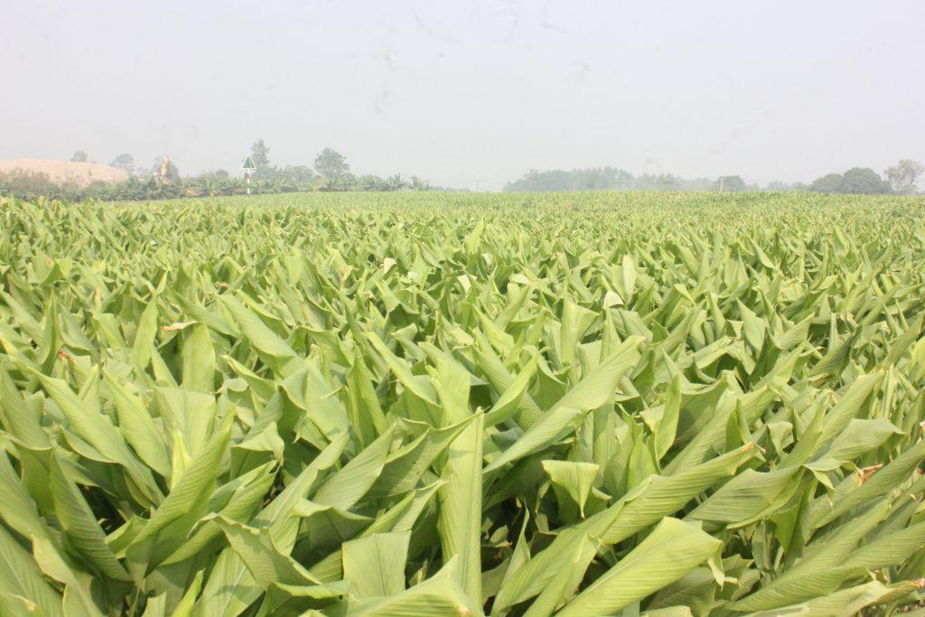 Mua tinh bột nghệ tại vùng trồng nghệ để đảm bảo chất lượng